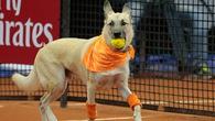 Chó lần đầu thay thế người nhặt bóng tại giải tennis