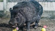 Hy hữu chuyện lợn bị